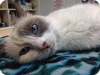 Siamese Cat for adoption in Newport Beach, California - Yuki