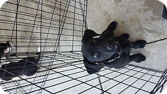 Labrador Retriever Mix Puppy for adoption in Mantua, New Jersey - Sugar