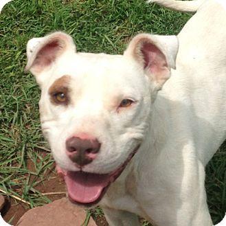 Pit Bull Terrier/Bulldog Mix Dog for adoption in Midvale, Utah - pete