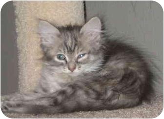 Egyptian Mau Kitten for adoption in Davis, California - Cha Cha