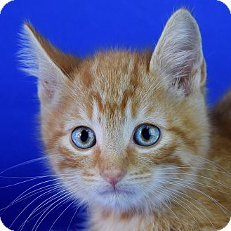 Domestic Shorthair Kitten for adoption in Carencro, Louisiana - Louie