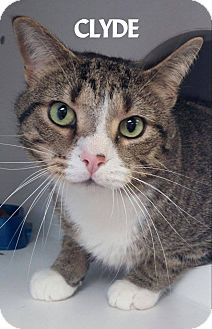 Domestic Shorthair Cat for adoption in Lapeer, Michigan - CLYDE-IN SEARCH OF A GIRLFRIEN