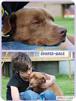 Labrador Retriever/Nova Scotia Duck-Tolling Retriever Mix Dog for adoption in Harmony, Glocester, Rhode Island - Spades