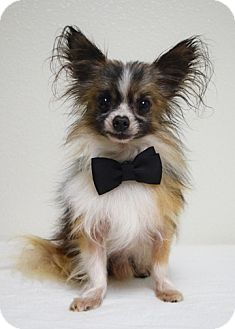 Papillon/Chihuahua Mix Dog for adoption in Dublin, California - Quigley
