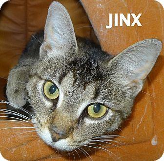Domestic Shorthair Cat for adoption in Lapeer, Michigan - Jinx