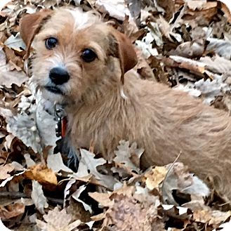 Terrier (Unknown Type, Small) Mix Dog for adoption in Minneapolis, Minnesota - Milo Terrier