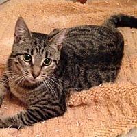 Adopt A Pet :: Tiger - oakland park, FL