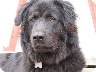 Labrador Retriever/Newfoundland Mix Dog for adoption in Kiowa, Oklahoma - Kuma