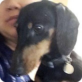 Dachshund Dog for adoption in Houston, Texas - Dewy Demiglace