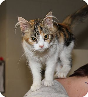 Calico Kitten for adoption in Marietta, Ohio - Patches (Spayed)