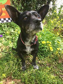 Dachshund/Corgi Mix Dog for adoption in Costa Mesa, California - Rosemary
