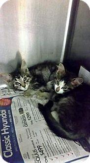 Domestic Shorthair Kitten for adoption in Northfield, Ohio - BRANDY
