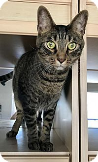 Domestic Shorthair Cat for adoption in West Palm Beach, Florida - Luis