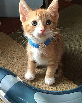 Domestic Shorthair Kitten for adoption in Orange, California - Tom Katsu