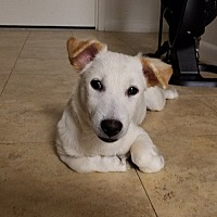 Jindo Mix Puppy for adoption in LONG ISLAND CITY, New York - Daniel