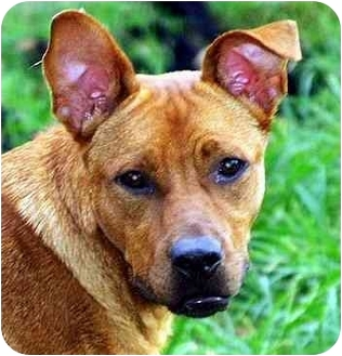 Basenji/Shepherd (Unknown Type) Mix Dog for adoption in Nashville, Tennessee - Zoey