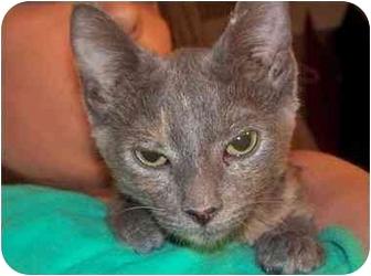 Siamese Kitten for adoption in Shelton, Connecticut - Kira