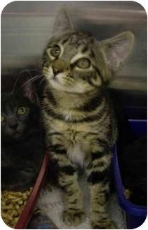 Domestic Shorthair Kitten for adoption in Saanichton, British Columbia - Nacho