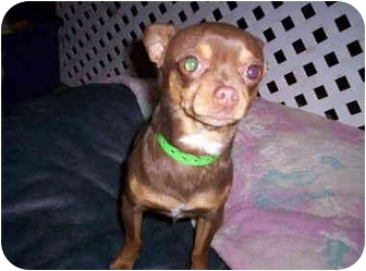 Chihuahua Mix Dog for adoption in Albuquerque, New Mexico - McKinney