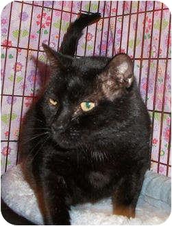 Domestic Shorthair Cat for adoption in Colmar, Pennsylvania - Mars