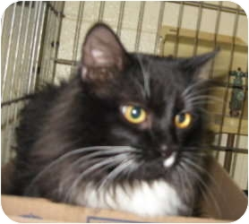 Domestic Longhair Cat for adoption in Stillwater, Oklahoma - Boots