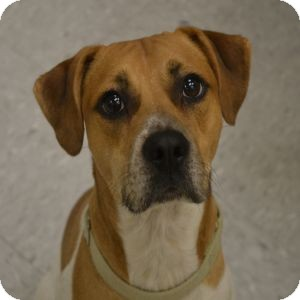 Beagle/Pointer Mix Dog for adoption in Gilbert, Arizona - Jude