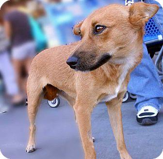 Basenji Mix Puppy for adoption in Las Vegas, Nevada - Foxy
