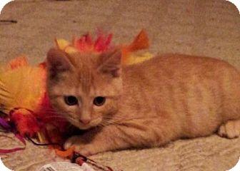 Domestic Shorthair Kitten for adoption in Knoxville, Tennessee - Garfunkel