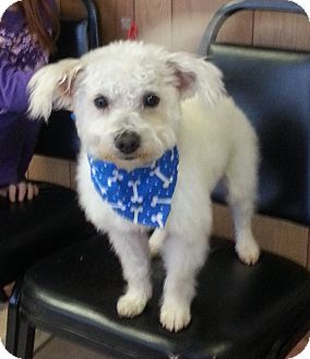 Maltese/Poodle (Miniature) Mix Puppy for adoption in Lawrenceville, Georgia - Henry