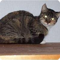 Domestic Mediumhair Cat for adoption in West Plains, Missouri - Sugar