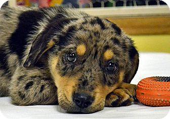 Catahoula Leopard Dog/Labrador Retriever Mix Puppy for adoption in Searcy, Arkansas - Sting