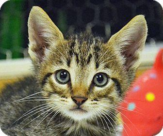 Domestic Shorthair Kitten for adoption in Searcy, Arkansas - Bobby