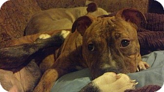 American Pit Bull Terrier Mix Puppy for adoption in nashville, Tennessee - Vivenne