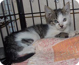 Domestic Shorthair Kitten for adoption in St. Pauls, North Carolina - Sundance