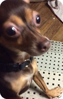 Chihuahua Dog for adoption in S. Pasedena, Florida - Millie