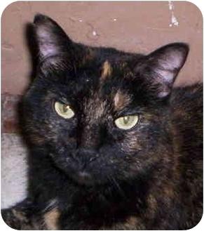 Domestic Shorthair Cat for adoption in Aledo, Illinois - Buffy