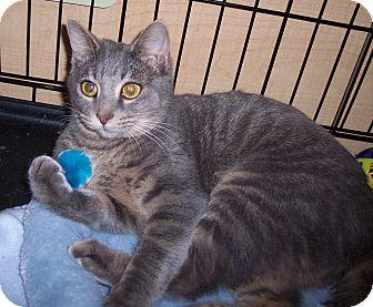 Domestic Shorthair Cat for adoption in Richmond, Virginia - Gracie
