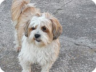 Shih Tzu Mix Dog for adoption in Melbourne, Arkansas - Luke
