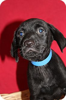 Labrador Retriever Mix Puppy for adoption in Waldorf, Maryland - Kale