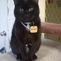 Domestic Shorthair Cat for adoption in Montreal, Quebec - Aramis