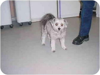 Schnauzer (Miniature)/Poodle (Miniature) Mix Dog for adoption in Tracy, California - Elrond