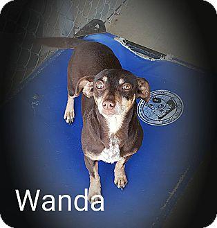 Chihuahua/Dachshund Mix Dog for adoption in muskogee, Oklahoma - wanda