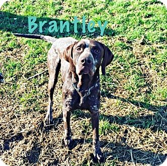 German Shorthaired Pointer Mix Dog for adoption in Streetsboro, Ohio - Brantley