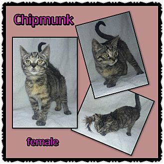 Domestic Shorthair Kitten for adoption in Richmond, California - Chipmunk