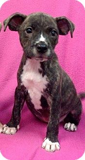 Staffordshire Bull Terrier Mix Puppy for adoption in Ijamsville, Maryland - Cleopatra
