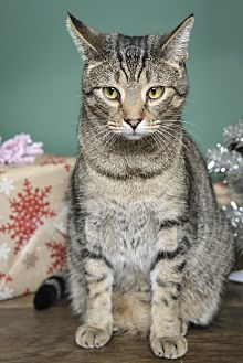 Domestic Shorthair Cat for adoption in Whitehall, Pennsylvania - Meeko