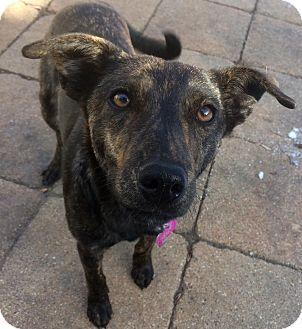 Mountain Cur Mix Dog for adoption in Minneapolis, Minnesota - Emily