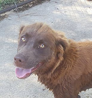 Chesapeake Bay Retriever Mix Dog for adoption in Hagerstown, Maryland - Hannah