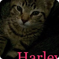 Adopt A Pet :: Harley - Levelland, TX