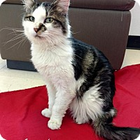 Domestic Longhair Cat for adoption in Roanoke, Virginia - Ryder